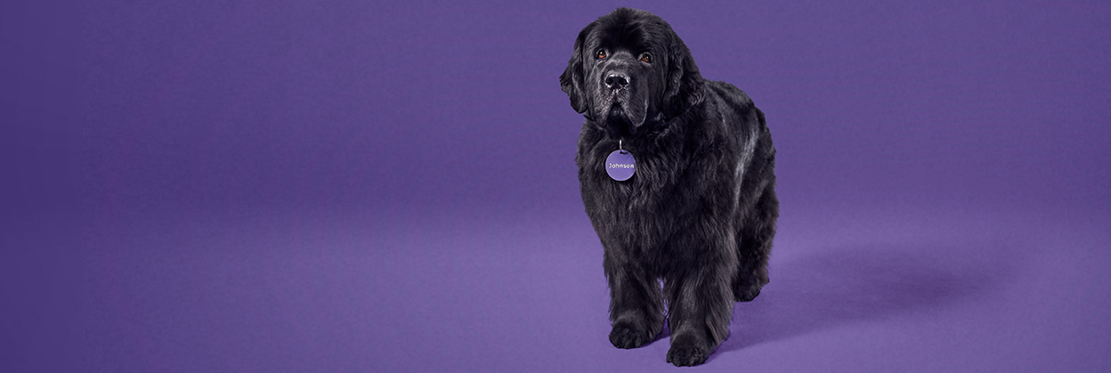 Johnson, the large and lovable Newfoundland dog, stands with pride.