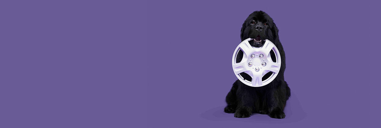 Johnson, the large and lovable Newfoundland dog, holds a hubcap in his mouth.